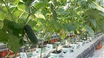 项城市农科院合作用岩棉无土栽培