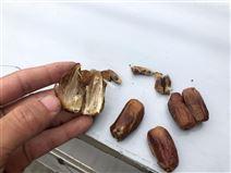 出口中东地区的椰枣去核设备